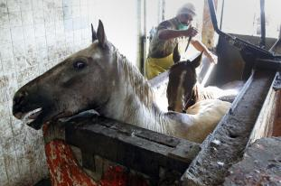 Horses being slaughtered in Mexico plant