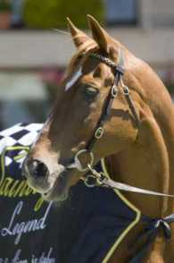 Australian thoroughbred champion Saintly