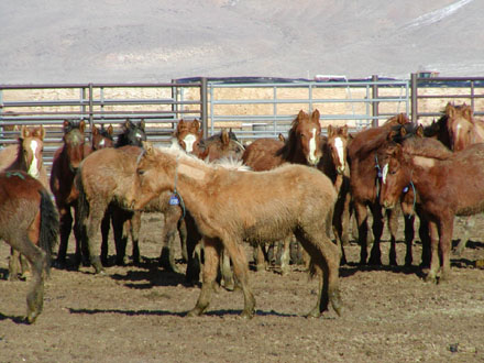 BLM website photograph of weanlings for sale