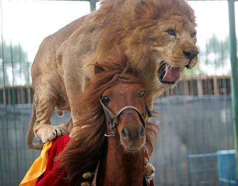 Lion riding horse in China zoo