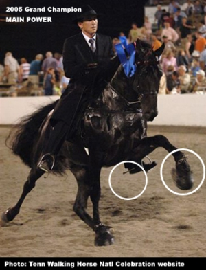 Exaggerated gait of Tennessee Walker gotten through the abusive practices of horse soring.