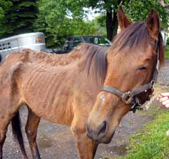 Mercy the day he arrived. HorseNet Horse Rescue