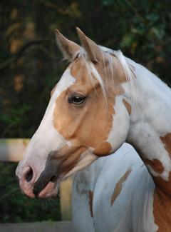 Rescued PMU Horse