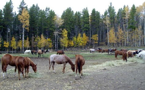 Some of the herd.  Since Bear Valley began rescuing horses five years ago, they have adopted out about 220-230 so far, and found foster homes for about 20-30 horses with health and other issues.  We're a little overloaded right now at about 80 horses, says Kathy Bartley.