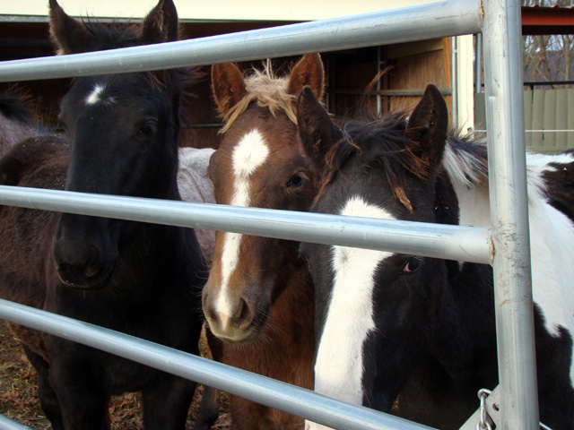 Three of the 15 foals recently rescued and transported from Canada to their temporary home at Ray of Light in Connecticut look with curiosity at the goings on.  Photograph by Vivian Grant.