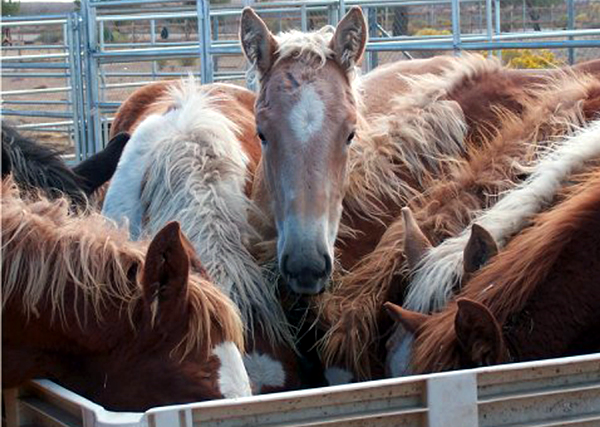 Millions of foals and the mares who bore them have been martyred to produce Wyeth's line of hormone replacement therapy drugs, such as Premarin, Prempro and Premphase.  Now the pharmaceutical giant are setting the stage to launch yet another drug made with CEE, or conjugated equine estrogen.  Marketed as a treatment for osteoporosis that also alleviates other menopausal symptoms, is it actually Premarin in disguise?  Danielle Titland tells us the story.