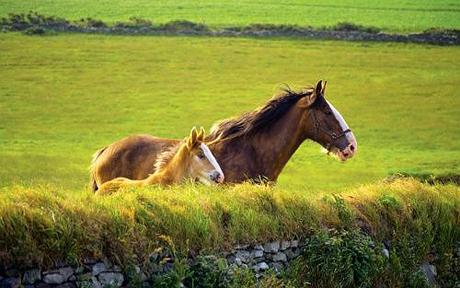 In the past decade the number of 'pet' horses in Britain has risen sharply to more than 1.2 million.  Photo by GETTY