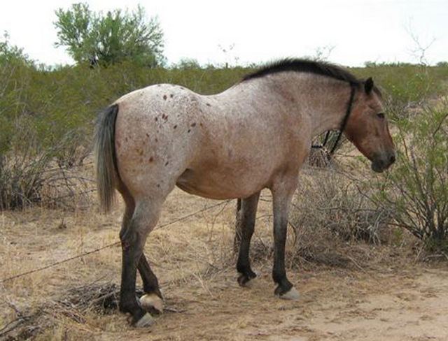 The trial of the Florence, Arizona man accused of beating and dragging this horse behind a truck, is set for March 17th. The horse, whose gender, age and name are not yet known, is being cared for in Southern Arizona until his, or her, fate has been determined.  Horse lovers fear the horse will be sent to auction to recoup costs spent by the County, and end up going to slaughter.
