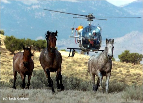 Wild Horses Rounded Up by Helicopter for the BLM