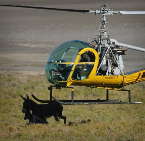A helicopter nudges two wild burros on, in the Panamint Valley on federal land north of Trona on Friday, September 25, 2009.  The roundup over the course of seven days herded over 250 burros, done by a private contractor. Kurt Miller, The Press-Enterprise