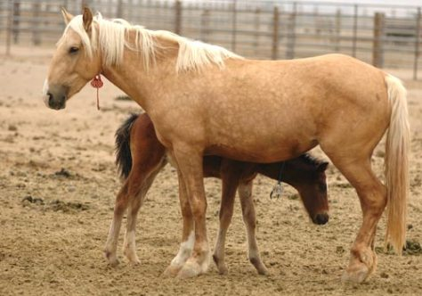 Mare and foal at the Palomino Valley National Wild Horse and Burro Center north of Sparks, Nevada. Photo by Stan White/BLM Nevada.