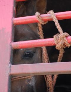 The Intl Fund for Horses joins World Horse Welfare in its call to end the long-distance transportation of horses to slaughter in the European Union. Photo WHW.