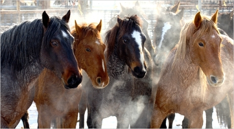 Wild Horses rounded up by BLM from the Calico Complex NV Dec 2009