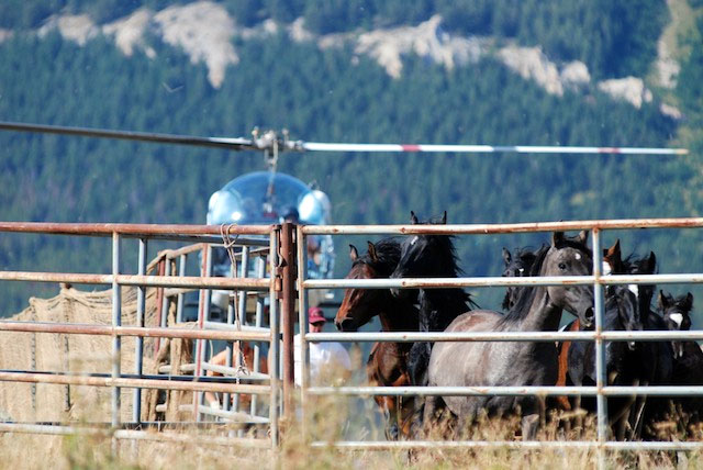 Wild Horse Helicopter Roundup. (Cloud Foundation Photo)