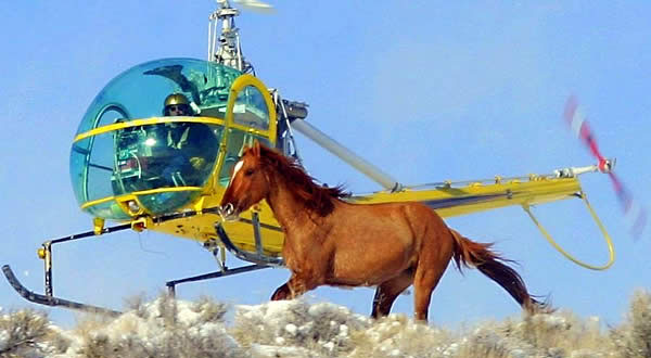 Helicopter Horse Roundup Winter Wild Horse Helicopter