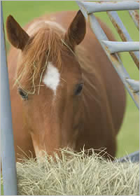 Horse eating hay. Google image.