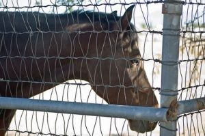 Horse behind fence awaiting slaughter.