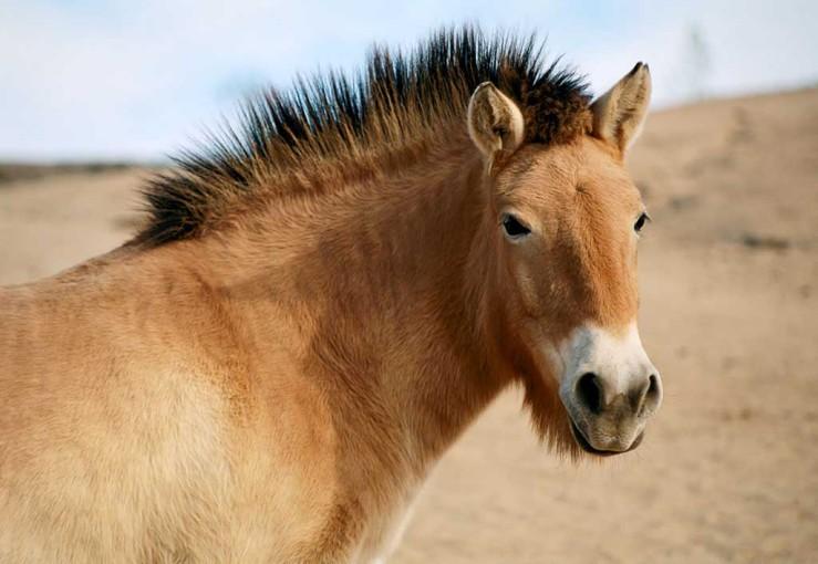Przewalsk's Horse