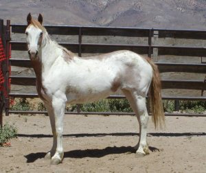 5 Yr Old Calico Mare for Sale  Necktag #0832
