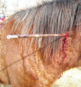 A veterinarian spent four hours removing the barbed arrows from Misty, a gentle mare who was shot four times with a hunting bow.