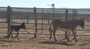 Wild Burros Captured by the BLM