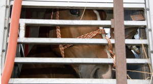 Horse Transported to Slaughter