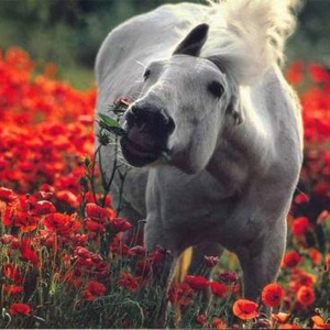 Horse in a field of poppies