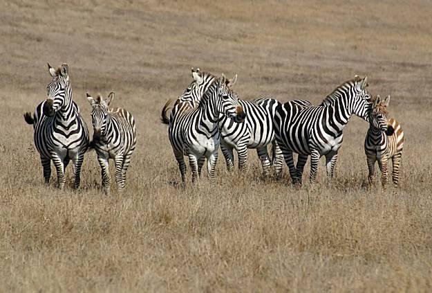 Heart Ranch Zebras