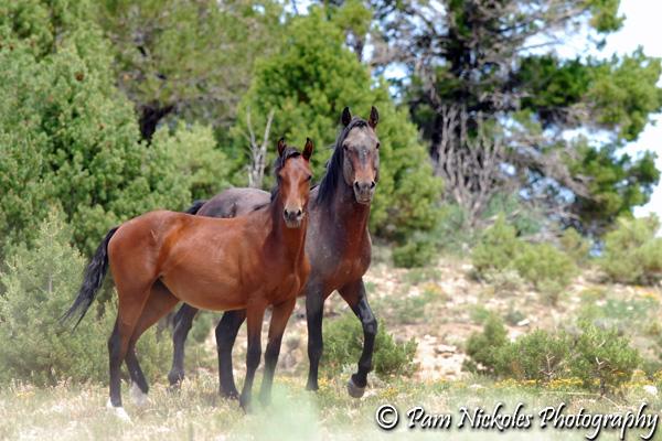 West Douglas Herd Mustangs. Pam Nickoles Photography.