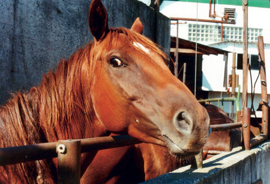 Horse walks death row to slaughter. Humane Farm Association photograph.