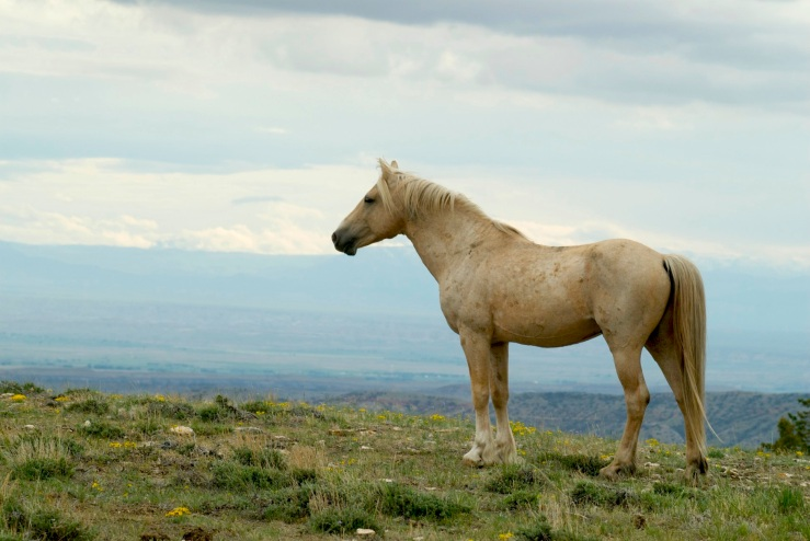 Cloud the Stallion watches over his territory. The Cloud Foundation.