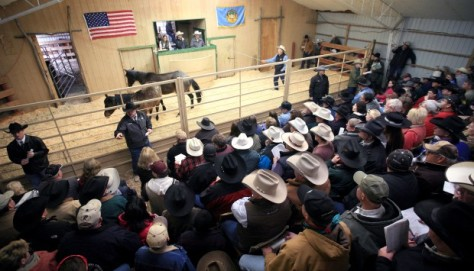 During an unusual sale drawing international interest, the Bureau of Indian Affairs auctioned more than 800 Leachman horses that had been trespassing on Crow Reservation trust lands.  During the sale, Leachman's son, Seth Leachman, bid successfully on 66 horses. Image by Casey Riffi.