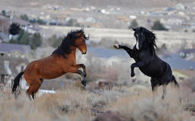 Wild Horses Nevada. Andy Barron / AP Photo.