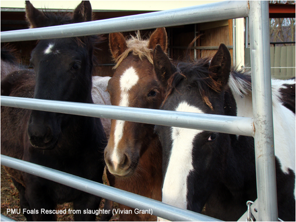 Rescued Premarin Foals. Image by Vivian Grant Farrell.