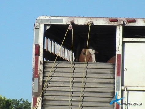 Slaughterbound Horse at the Mexican Border. AA Photo.