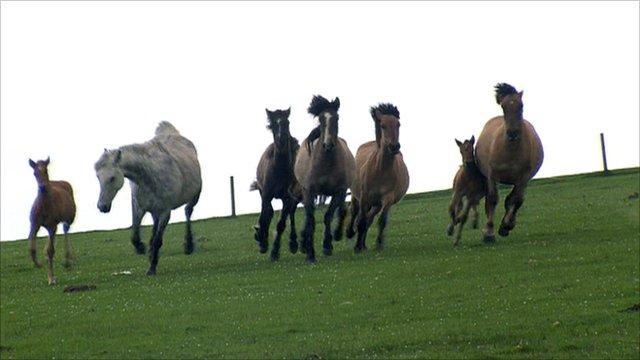 Feral Horses Moray
