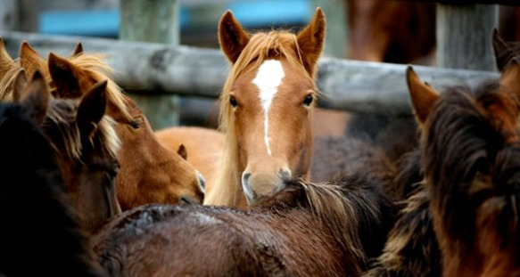 Activists fear mass roundup of wild horses with government rule change