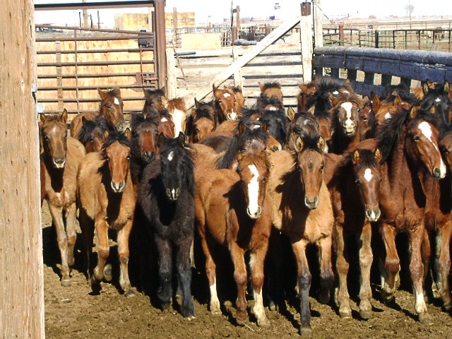 Paiute Weanlings Rescued from Slaughter
