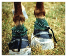 Horse soring image from The Hoof Blog