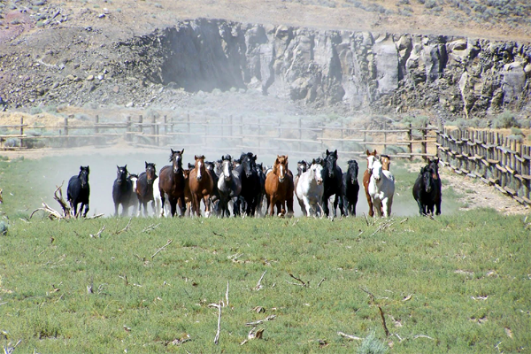 Wild Horses (by Craig Downer)