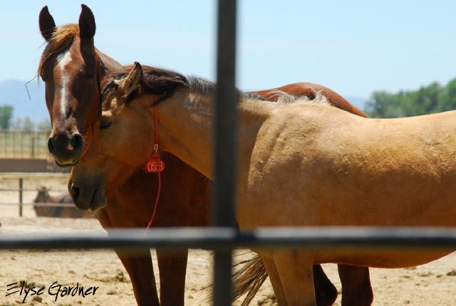 Captured Mustangs nuzzle for comfort. Image / Elyse Gardner.