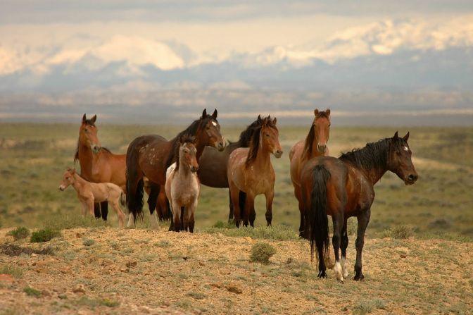 Red Desert Band of Wild Horses
