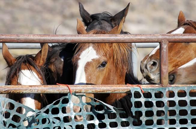 Tonapah Wild Horses. Image Steve Marcus/Las Vegas Sun.