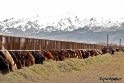 Wild Horses Feeding in Long Term Holding. Image/Elyse Gardner.
