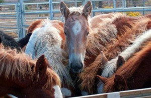 Foals cast off by the Premarin industry crowd in a feedlot pen await transport to slaughter.