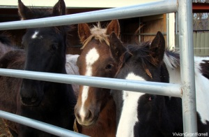 PMU foals await auction in a slaughter buyer's feedlot.