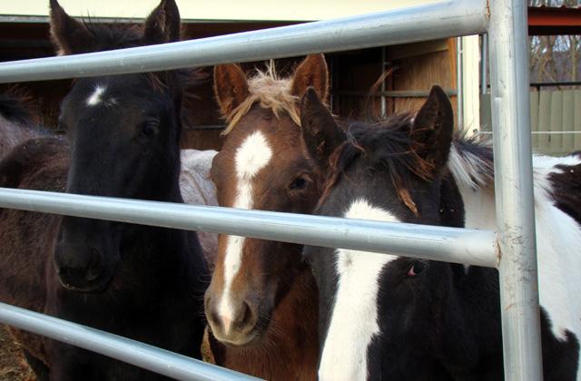 Rescued Premarin Foals. Image Vivian Grant Farrell.