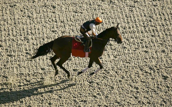 A racehorse is jogged on synthetic surface at Santa Anita. Image by Al Seib / LA times.