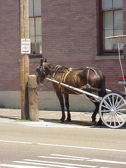 Carriage horse, Natchez, Mississippi.