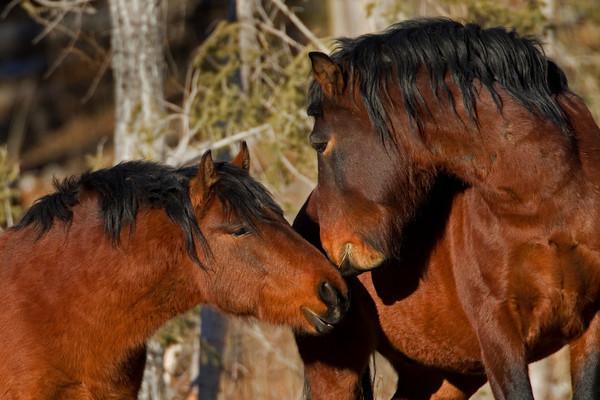 Alberta Wild Horses. Image by Henrick Nilsson.
